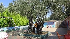 810 Yıllık Zeytin Ağacı Turizmin Hizmetinde