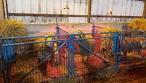 BBB, Balıkesir Kuzusu üretimini yaygınlaştıracak