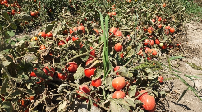Virüs domates üreticilerini perişan etti